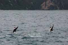 Dusky dolphins swimming off the coast of Kaikoura, New Zealand. Kaikoura is a popular tourist destination for watching and swimming with dolphins royalty free stock image