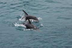 Dusky dolphins swimming off the coast of Kaikoura, New Zealand. Kaikoura is a popular tourist destination for watching and swimming with dolphins royalty free stock photography