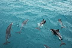Dusky dolphins swimming off the coast of Kaikoura, New Zealand. Kaikoura is a popular tourist destination for watching and swimming with dolphins royalty free stock photo