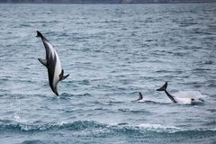 Dusky dolphins swimming off the coast of Kaikoura, New Zealand. Kaikoura is a popular tourist destination for watching and swimming with dolphins royalty free stock images