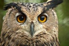 Dusky eagle owl royalty free stock images