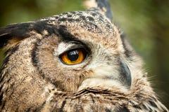 Dusky eagle owl stock photography