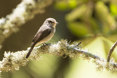 Dusky flycatcher Royalty Free Stock Photos