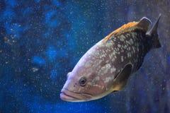 Dusky grouper Stock Image