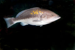 Dusky Grouper (Epinephelus marginatus) Royalty Free Stock Images