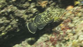 Dusky grouper Epinephelus marginatus hides in the cave in Mediterranien sea. Dusky grouper Epinephelus marginatus hides in the underwater cave in El Toro nature stock video