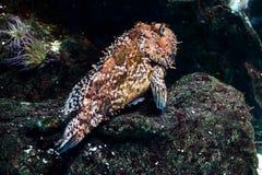 Dusky grouper fish Stock Photos