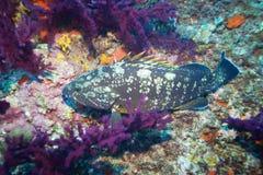 Dusky Grouper Stock Photos