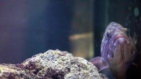 Dusky Grouper (marginatus Epinephelus) сток-видео