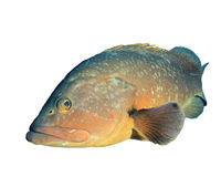 Dusky Grouper Royalty Free Stock Photos
