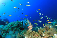 Dusky Grouper Royalty Free Stock Images