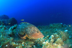 Dusky Grouper Stock Photo