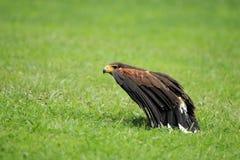 Dusky hawk Stock Image