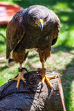 Dusky Hawk Royalty Free Stock Images