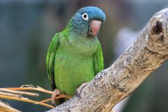 Dusky-headed conure Stock Image
