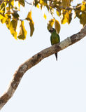 Dusky-headed Parakeet Royalty Free Stock Photo