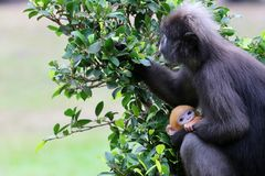 Dusky Langur are caring yellow baby in the garden Royalty Free Stock Photography