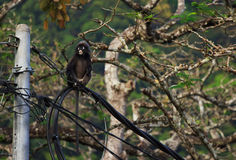 Dusky Langur Royalty Free Stock Photography