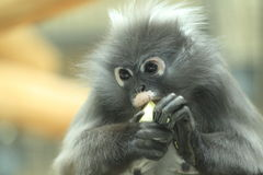 Dusky langur detail Stock Photos