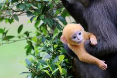 Dusky Langur or Leaf monkeys are caring yellow baby in the garde Royalty Free Stock Photos