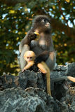 Dusky langur mommy and baby Stock Images