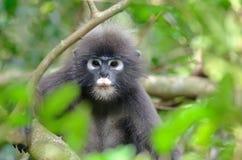 Dusky langur monkey Stock Images