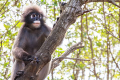 Dusky langur monkey Royalty Free Stock Photography