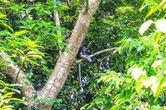 Dusky Langur sitting on tree branch Stock Photo