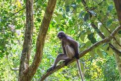 Dusky Langur sitting on tree branch Stock Image