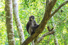 Dusky Langur sitting on tree branch Royalty Free Stock Images