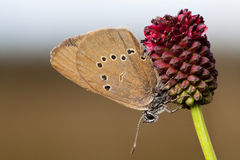 Dusky Large Blue Royalty Free Stock Photo