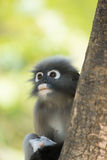 Dusky leaf langur monkey up on a tree Stock Photography