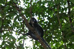 Monkey, Dusky leaf langur Trachypithecus obscurus spectacled leaf monkey Royalty Free Stock Images