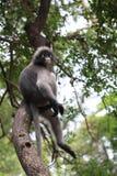 Dusky Leaf Monkey Royalty Free Stock Images
