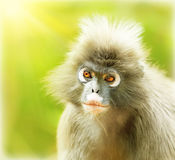 Dusky Leaf Monkey. Close up portrait of a cute monkey face, animals environment, langur in wild nature, wildlife safari travel, Monkeyland, South Africa stock images