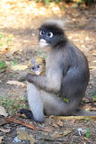 Dusky Leaf Monkey Stock Photos