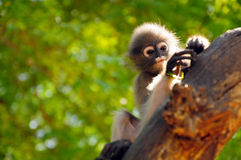 Dusky leaf monkey Stock Photography