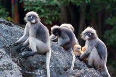 Free Dusky Leaf Monkey Royalty Free Stock Image - 90216456