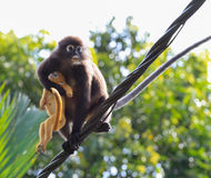 Dusky leaf monkey. Carrying dead child Stock Images
