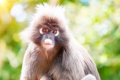 Dusky Leaf Monkey Royalty Free Stock Photos