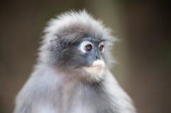 Dusky leaf monkey. Close up dusky leaf monkey, Spectacled Langur in Thailand Royalty Free Stock Image