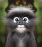 Dusky leaf monkey face close up Stock Image