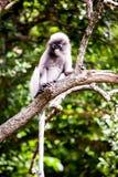 Dusky leaf monkey Stock Images