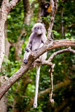 Dusky leaf monkey Royalty Free Stock Images