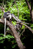 Dusky leaf monkey Royalty Free Stock Photo