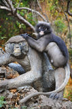 Dusky Leaf Monkey. Royalty Free Stock Photo