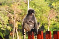 Dusky Leaf Monkey. Stock Photo