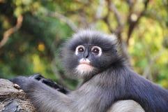 Dusky Leaf Monkey. Royalty Free Stock Photo