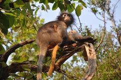 Dusky Leaf Monkey. Stock Image