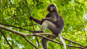 Dusky leaf monkey, Langur in forest. Dusky leaf monkey, Dusky langur, Spectacled langur in forest Stock Image